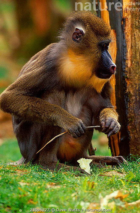 Mandrill (vulnerable) {Papio sphinx} captive from W Africa  ,  WEST AFRICA,PAPIO,PRIMATES,BABOON,MAMMALS,VULNERABLE,AFRICA,BABOONS  ,  Dave Watts