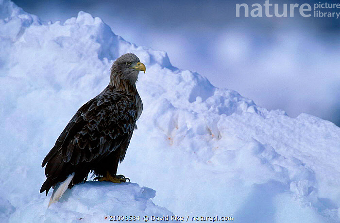 White tailed eagle {Haliaeetus albicilla} Nemuro straits Japan  ,  ASIA,PREY,RAPTORS,BIRDS OF PREY,BIRDS,RAPTORS,BIRDS,SNOW,EAGLES,RAPTOR,Catalogue1  ,  David Pike