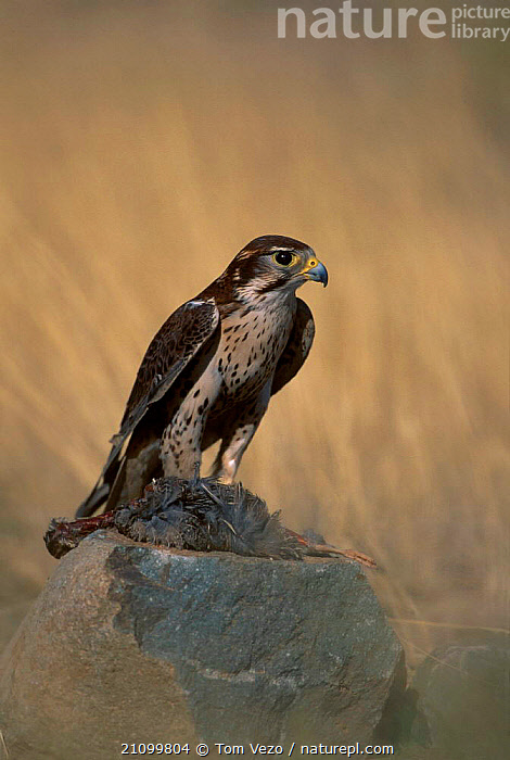 Prairie falcon with prey {Falco mexicanus} C Tucson Arizona US, CAPTIVE,FALCONS,BIRDS,BIRDS OF PREY,USA,BIRDS,NORTH,AMERICA,FEEDING,NORTH AMERICA,Grassland, Tom Vezo