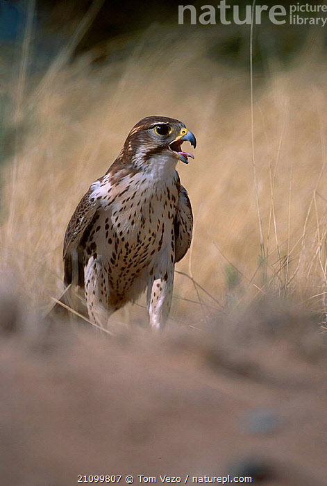 Prairie falcon calling {Falco mexicanus} C Tucson Arizona US, FALCONS,BIRDS,CAPTIVE,VOCALISATION,USA,AMERICA,PREY,BIRDS,BIRDS OF PREY,NORTH,NORTH AMERICA,Grassland, Tom Vezo