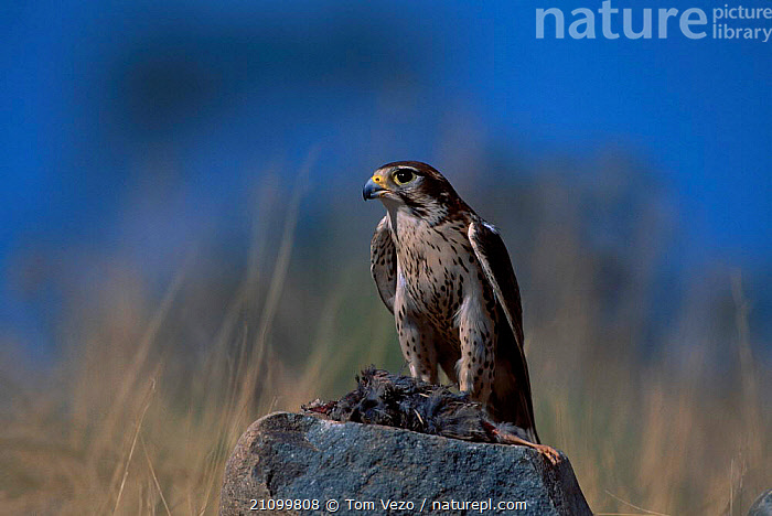 Prairie falcon with prey {Falco mexicanus} C Tucson Arizona US, NORTH,BIRDS,BIRDS,FALCONS,CAPTIVE,BIRDS OF PREY,USA,AMERICA,FEEDING,NORTH AMERICA,Grassland, Tom Vezo