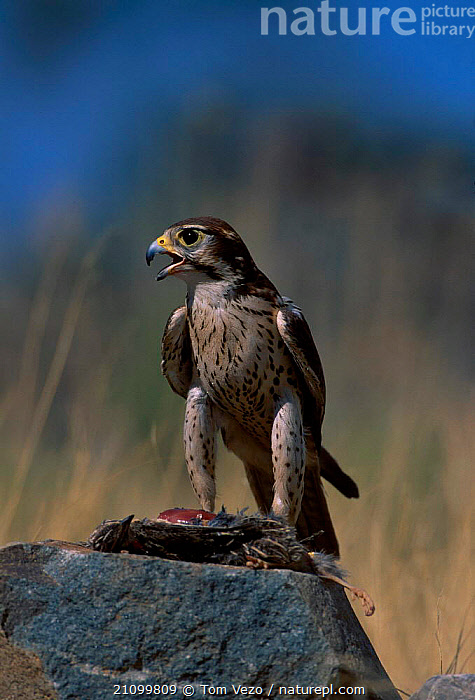 Prairie falcon with prey {Falco mexicanus} C Tucson Arizona US, BIRDS,BIRDS OF PREY,USA,FEEDING,CAPTIVE,FALCONS,VOCALISATION,BIRDS,NORTH,AMERICA,NORTH AMERICA,Grassland, Tom Vezo