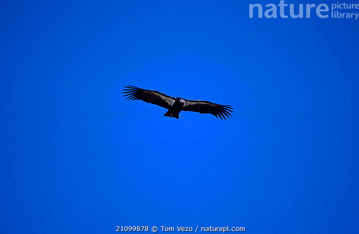 Californian condor flying {Gymnogyps californianus} Hopper mtn NWR CA USA California, CONDORS,AMERICA,NORTH,BIRDS,BIRDS OF PREY,FLIGHT,BIRDS,RESERVE,SOARING, Tom Vezo