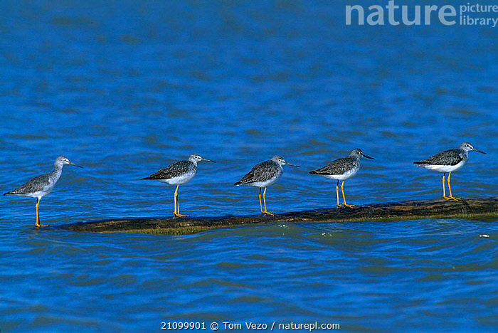 Five Lesser yellowlegs on floating log {Tringa flavipes} Bosque del Apache NM USA  ,  WADER,RESERVE,WADERS,AMERICA,BIRDS,BIRDS,NORTH,LINE,WETLANDS  ,  Tom Vezo
