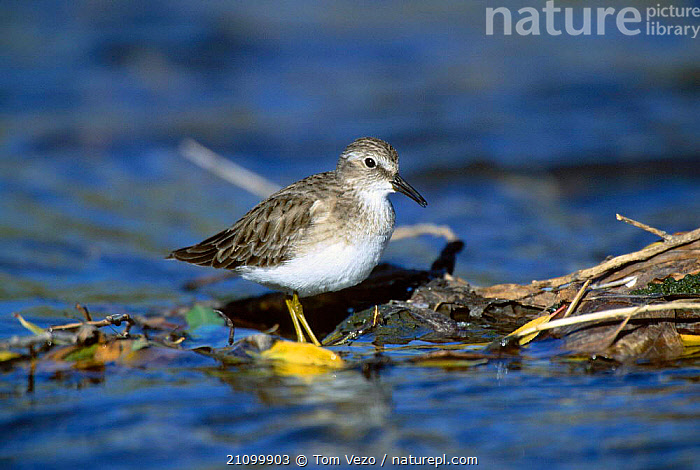 Least sandpiper in river {Calidris minutilla} Tucson Arizona USA, WADERS,AMERICA,BIRDS,WADER,RIVERS,NORTH,, Tom Vezo