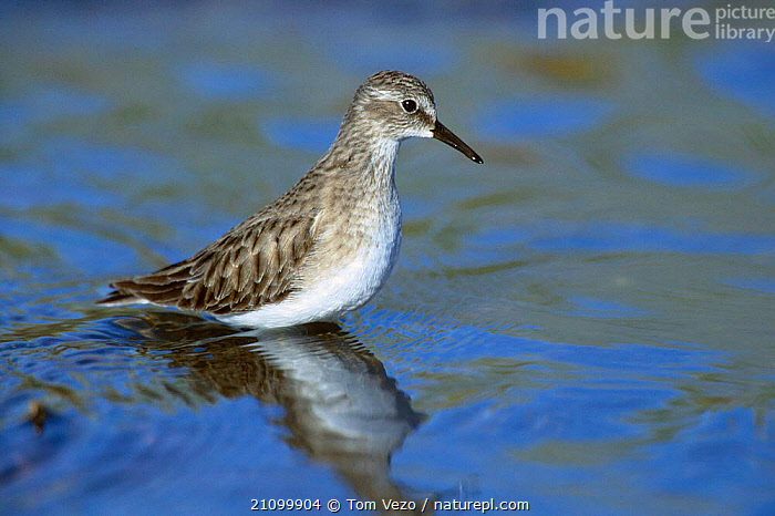 Least sandpiper in river {Calidris minutilla} Tucson Arizona USA, BIRDS,RIVERS,WADERS,WADER,NORTH,WADING,AMERICA,BIRDS, Tom Vezo