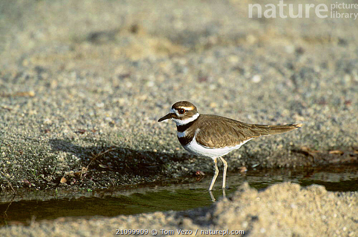 Killdeer plover {Charadrius vociferus} Tucson Arizona USA, AMERICA,BIRDS,BIRDS,WADERS,NORTH,RIVERS,WADER, Tom Vezo