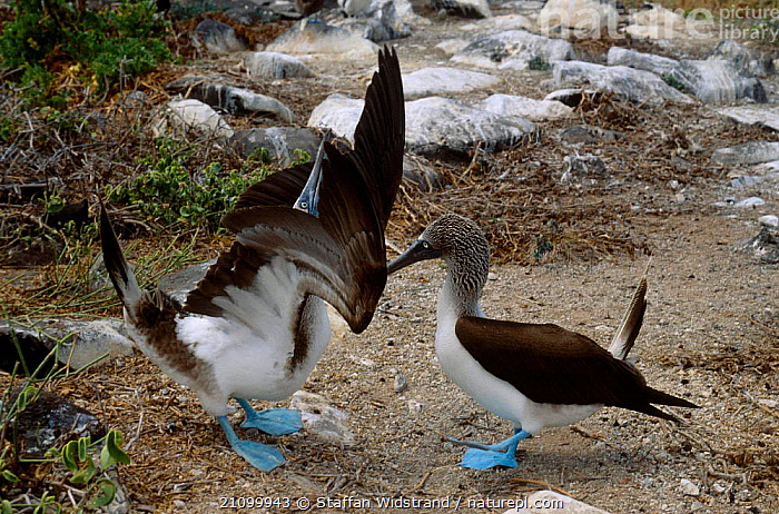 Blue footed booby courtship display {Sula nebouxii} Galapago, MATING BEHAVIOUR,DISPLAYING,GALAPAGOS,BEHAVIOUR,BIRDS,MALES,SEABIRDS,MALE FEMALE PAIR,REPRODUCTION,BIRDS,BOOBIES,PAIR,FEMALES,SEABIRDS, Staffan Widstrand