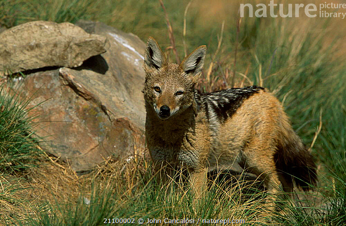 Black backed jackal {Canis mesomelas} South Africa, CARNIVORE,CARNIVORES,MAMMALS,DOGS,SOUTHERN AFRICA,CANIDS, John Cancalosi