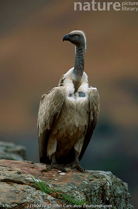 Cape vulture vulnerable {Gyps coprotheres} South Africa, BIRDS,SOUTHERN AFRICA,VULTURES,BIRDS, John Cancalosi