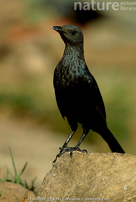 African red winged starling {Onychognathus morio} South Africa, BIRDS,SOUTHERN AFRICA,STARLINGS,BIRDS, John Cancalosi