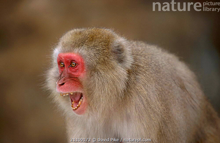 Japanese macaque threat facial expression {Macaca fuscata} Jigokudani Japan, MAMMALS,SNARL,ASIA,FACES,MACAQUES,PRIMATES,PRIMATES,AGGRESSION,COLD,FACES,SNARLING,CONCEPTS,MONKEYS, David Pike