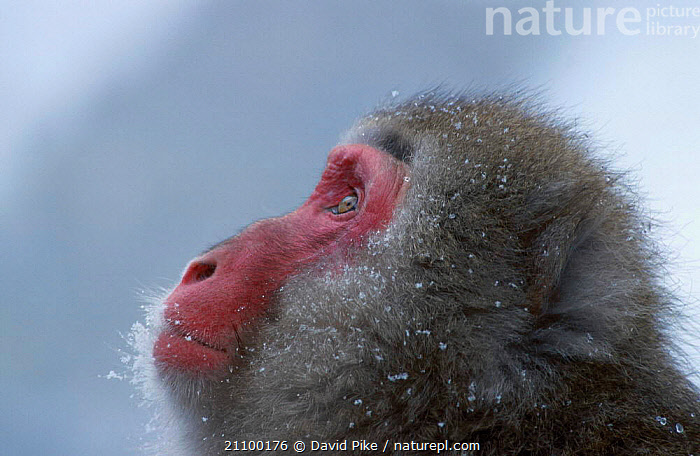 Japanese macaque portrait {Macaca fuscata} Jigokudani Japan, ASIA,COLD,MACAQUES,PRIMATES,PORTRAITS,PRIMATES,MAMMALS,MONKEYS, David Pike