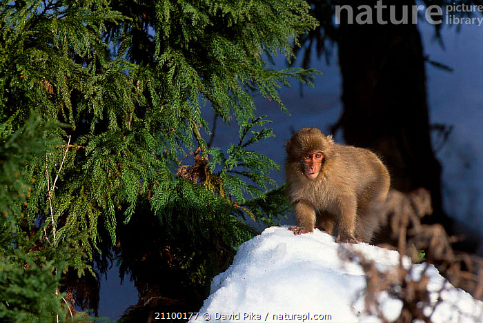 Japanese macaque in snow {Macaca fuscata} Jigokudani Japan, PRIMATES,ASIA,PRIMATES,MAMMALS,COLD,CONIFEROUS,MACAQUES,MONKEYS, David Pike