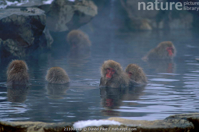 Japanese macaques in hot springs {Macaca fuscata} Jigokudani Japan, PRIMATES,ASIA,SPRING,STEAM,BATHING,GROUPS,REFLECTIONS,FACIAL,GROUP,THERMAL,PRIMATES,WATER,MAMMALS,MONKEYS, David Pike