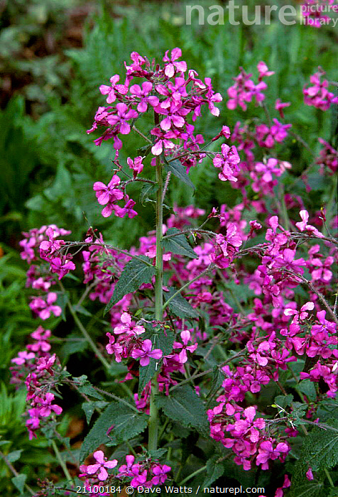 Honesty in flower {Lunaria annua} UK originates from SE Europe but escapes from gardens, PLANT,PLANTS,NATURALISED,PURPLE, Dave Watts