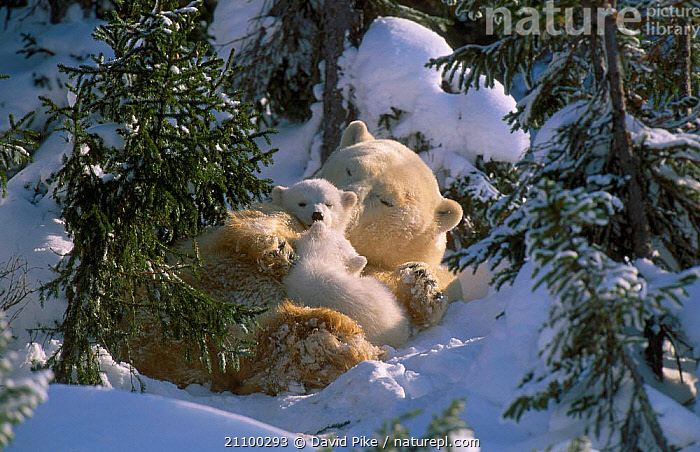 Female Polar bear with very small cubs {Ursus maritimus} Watchee lodge area Canada, AFFECTIONATE,BABY,CARNIVORES,MOTHER,TREES,CARING,FAMILY,YOUNG,GROUP,BEARS,TINY,CARE,BABIES,CARNIVORE,MAMMALS,FAMILIES,GROUPS,JUVENILE,AFFECTION,SNOW,CUTE,PARENTAL,CONCEPTS,PLANTS, David Pike