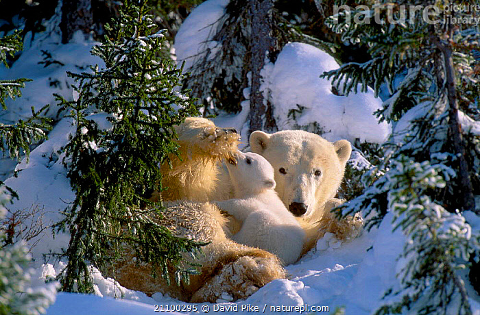 Female Polar bear with very small cubs {Ursus maritimus} Watchee lodge area Canada, JUVENILE,CARING,MOTHER,TREES,AFFECTIONATE,CARNIVORE,CARNIVORES,BABIES,MAMMALS,TINY,CUTE,FAMILIES,GROUPS,YOUNG,BEARS,BABY,PARENTAL,AFFECTION,CARE,FAMILY,SNOW,GROUP,CONCEPTS,PLANTS, David Pike