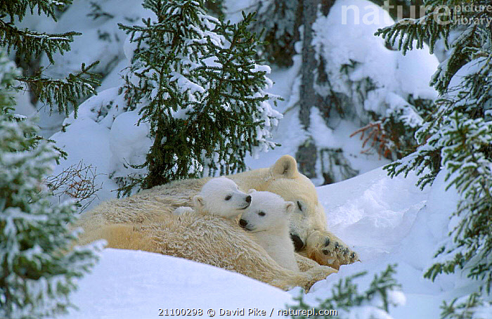 Female Polar bear with very small cubs {Ursus maritimus} Watchee lodge area Canada, AFFECTIONATE,FAMILY,BABIES,GROUPS,MOTHER,GROUP,JUVENILE,BABY,CUTE,FAMILIES,TINY,AFFECTION,BEARS,CARING,PARENTAL,TREES,CARNIVORE,MAMMALS,SNOW,CARNIVORES,YOUNG,CARE,CONCEPTS,PLANTS, David Pike