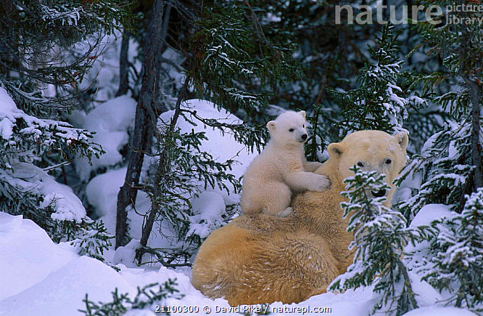 Female Polar bear with very small cubs {Ursus maritimus} Watchee lodge area Canada, AFFECTION,BEARS,AFFECTIONATE,BABIES,CUTE,JUVENILE,SNOW,GROUPS,MAMMALS,YOUNG,MOTHER,TREES,CARNIVORE,GROUP,TINY,PARENTAL,FAMILY,BABY,CARNIVORES,CARE,CARING,FAMILIES,CONCEPTS,PLANTS, David Pike