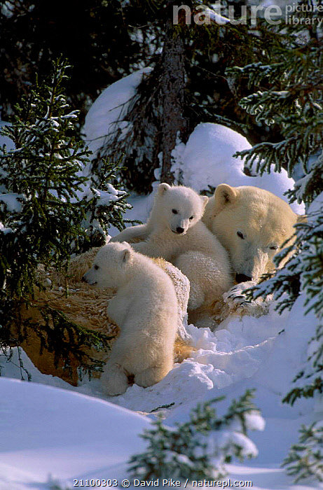 Female Polar bear with very small cubs {Ursus maritimus} Watchee lodge area Canada, CARING,MOTHER,GROUPS,AFFECTION,CARNIVORES,FAMILY,GROUP,JUVENILE,MAMMALS,TINY,AFFECTIONATE,CUTE,SNOW,CARNIVORE,FAMILIES,BABY,PARENTAL,TREES,BABIES,YOUNG,BEARS,CARE,CONCEPTS,PLANTS, David Pike