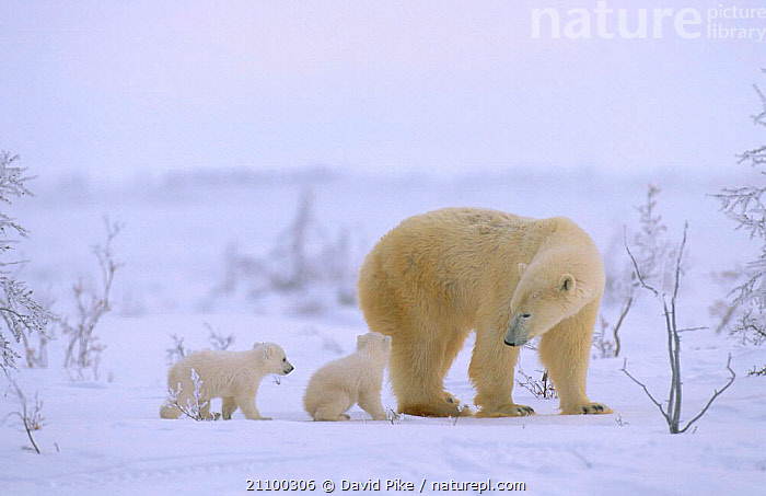 Polar bear walking with very small cubs {Ursus maritimus} Watchee lodge area Canada, CARNIVORES,FAMILY,BABIES,YOUNG,BABY,CUBS,GROUP,MAMMALS,SNOW,GROUPS,CARNIVORE,FAMILIES,CUTE,FEMALES,JUVENILE,MATERNAL,TINY,BEARS, David Pike