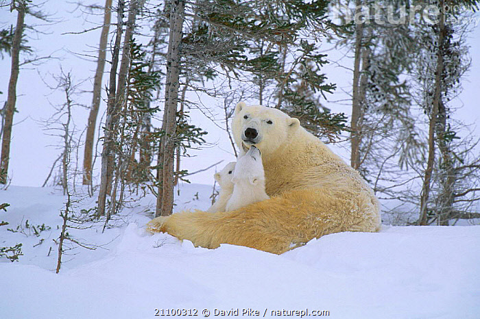 Polar bear resting with very small cubs {Ursus maritimus} Watchee lodge area Canada, BEARS,FAMILIES,NORTH AMERICA,PLAY,CARNIVORES,JUVENILE,BABIES,CUTE,MAMMALS,AFFECTIONATE,YOUNG,FEMALES,GROUPS,SNOW,ARCTIC,BABY,MOTHER,CONCEPTS,COMMUNICATION, David Pike