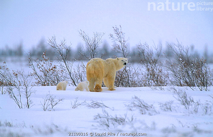 Polar bear walking with very small cubs {Ursus maritimus} Watchee lodge area Canada, BABY,FAMILIES,JUVENILE,BEARS,FEMALES,SNOW,TINY,CARNIVORE,FAMILY,YOUNG,BABIES,MOTHER,CUBS,GROUP,CARNIVORES,GROUPS,MAMMALS,LANDSCAPES,MOVING, David Pike