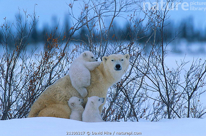 Female Polar bear with very small cubs {Ursus maritimus} Watchee lodge area Canada 2005, BABIES,MAMMALS,CARNIVORE,AFFECTIONATE,AMUSING,CARNIVORES,AFFECTION,SNOW,FAMILY,TINY,YOUNG,BABY,MOTHER,PLAYFUL,CLIMBING,GROUPS,HUMOROUS,FAMILIES,PLAY,CUTE,PLAYING,BEARS,CUBS,GROUP,COMICAL,CONCEPTS,COMMUNICATION, David Pike