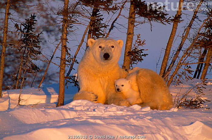 Female Polar bear with very small cub {Ursus maritimus} Watchee lodge area Canada, SNOW,CUTE,MAMMALS,BABIES,BEARS,TINY,BABY,CARNIVORE,RESTING,CARE,FUR,CUBS,AFFECTIONATE,REST,CARNIVORES,CONCEPTS, David Pike