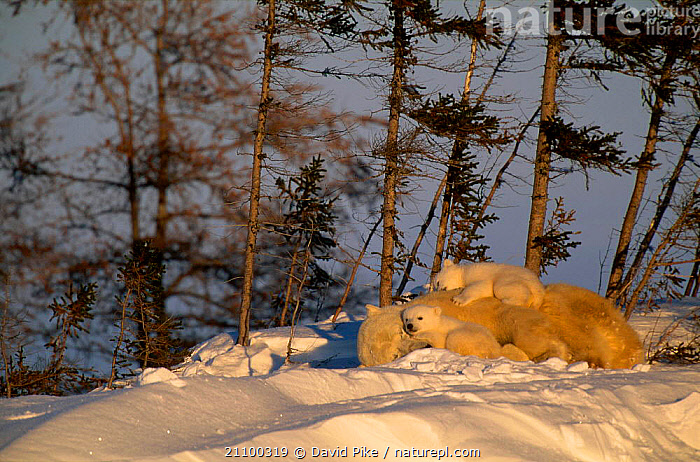 Polar bear asleep with very small cubs {Ursus maritimus} Watchee lodge area Canada, CUTE,SNOW,CARNIVORE,BABIES,CUBS,FEMALES,AFFECTIONATE,BABY,BEARS,FAMILY,FAMILIES,MAMMALS,SLEEP,RESTING,CARNIVORES,SLEEPING,CONCEPTS, David Pike