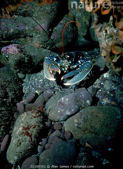 European lobster on seabed {Homarus gammarus} UK, UNDERWATER,CRUSTACEANS,MARINE,AQUATIC,EUROPE,TEMPERATE,LOBSTERS,INVERTEBRATES,ROCKS, Alan James