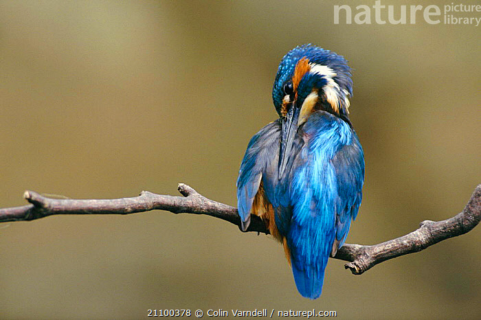 Common kingfisher preening {Alcedo atthis} England, UK, BIRDS,GROOMING,KINGFISHERS,EUROPE, Colin Varndell