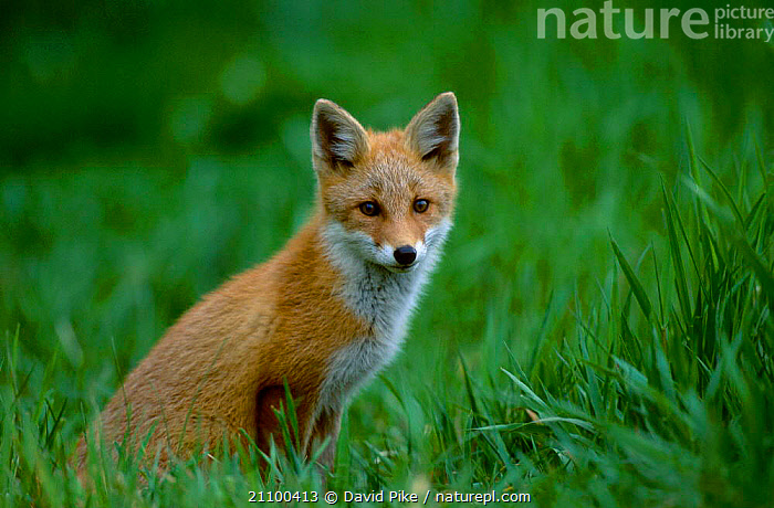 Northern Red fox subspecies in grass {Vulpes vulpes schrencki} Tsurui Mura Japan, SUMMER,ASIA,JUVENILE,CANIDS,CANIDS,CARNIVORES,YOUNG,SCHRENCKI,PORTRAITS,CARNIVORE,FOXES,WILD,MAMMALS,DOGS, David Pike