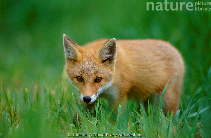 Northern Red fox subspecies in grass {Vulpes vulpes schrencki} Tsurui Mura Japan, SCHRENCKI,WILD,YOUNG,CARNIVORES,CANIDS,ASIA,CARNIVORE,PORTRAITS,MAMMALS,JUVENILE,CANIDS,FOXES,SUMMER,DOGS, David Pike