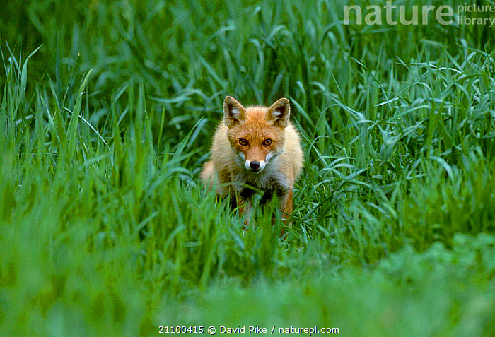 Northern Red fox subspecies in grass {Vulpes vulpes schrencki} Tsurui Mura Japan, ASIA,CANIDS,CANIDS,SCHRENCKI,CARNIVORE,PORTRAITS,WILD,CARNIVORES,YOUNG,MAMMALS,JUVENILE,SUMMER,FOXES,DOGS, David Pike