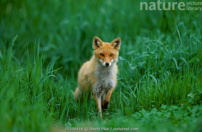 Northern Red fox subspecies in grass {Vulpes vulpes schrencki} Tsurui Mura Japan, CARNIVORE,CARNIVORES,MAMMALS,SUMMER,WILD,SCHRENCKI,CANIDS,ASIA,PORTRAITS,YOUNG,JUVENILE,FOXES,CANIDS,DOGS, David Pike