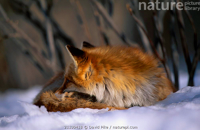 Northern Red fox subspecies C in snow {Vulpes vulpes schrencki} Tsurui Mura Japan, MAMMALS,CARNIVORES,CAPTIVE,WINTER,SCHRENCKI,CARNIVORE,FOXES,ASLEEP,CANIDS,RESTING,SLEEPING,REST,CANIDS,SLEEP,DOGS, David Pike