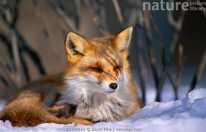Northern Red fox subspecies C in snow {Vulpes vulpes schrencki} Tsurui Mura Japan, FOXES,CARNIVORE,SCHRENCKI,CANIDS,MAMMALS,RESTING,REST,CANIDS,CAPTIVE,CARNIVORES,WINTER,DOGS, David Pike