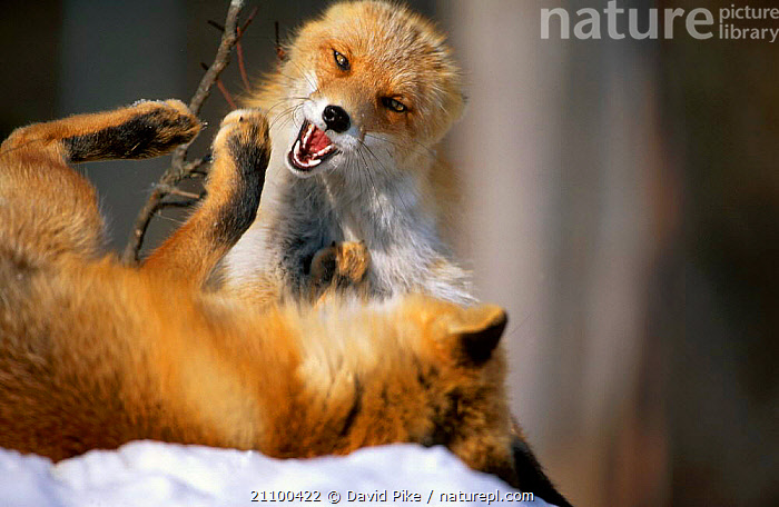 Northern Red foxes fighting C in snow {Vulpes vulpes schrencki} Tsurui Mura Japan, FIGHT,MAMMALS,AGGRESSIVE,CARNIVORE,SUBSPECIES,CANIDS,CARNIVORES,SCHRENCKI,WINTER,CANIDS,CAPTIVE,AGGRESSION,CONCEPTS,DOGS, David Pike