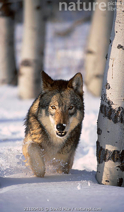 Grey wolf running through snow {Canis lupus}captive USA, WOLVES,MAMMALS,CARNIVORES,TREES,CANIDS,ACTION,MOVEMENT,WINTER,CANIDS,CARNIVORE,PLANTS,DOGS, David Pike
