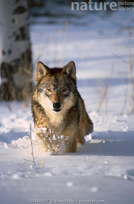Grey wolf running through snow {Canis lupus} captive USA, WINTER,ACTION,CARNIVORES,MOVEMENT,CANIDS,WOLVES,CANIDS,MAMMALS,TREES,NORTH AMERICA,,PLANTS,DOGS, David Pike