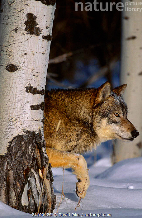 Grey wolf in snow amongst trees {Canis lupus} captive USA, WINTER,PORTRAITS,CANIDS,CARNIVORE,CARNIVORES,HEADS,BARK,CANIDS,TRUNK,MAMMALS,WOLVES,CAPTIVE,HEAD,FACES,FACES,TREE,PLANTS,DOGS, David Pike