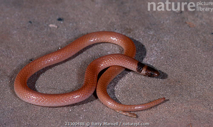 Peninsula crowned snake {Tantilla relicta} C Florida US, AMERICA,USA,NORTH,REPTILES,REPTILES,CAPTIVE,SNAKES,NORTH AMERICA, Barry Mansell