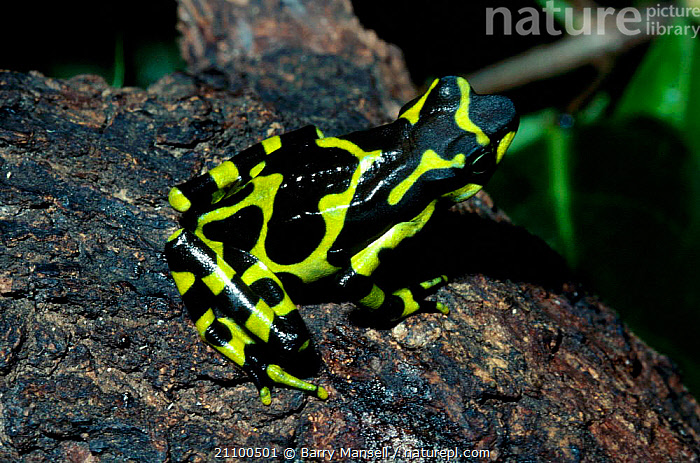 Harlequin frog {Atelopus various} Costa Rica, CENTRAL AMERICA,COLOURFUL,AMPHIBIANS,BLACK,AMPHIBIANS,CENTRAL,AMERICA,FROGS,GREEN,ANURA, Barry Mansell