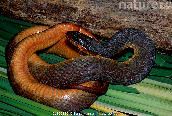 Red belly water snake {Nerodia e erythrogaser} C Florida USA, SNAKES,NORTH,REPTILES,CAPTIVE,REPTILES,AMERICA, Barry Mansell