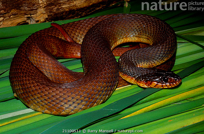 Red belly water snake {Nerodia e erythrogaser} C Florida USA, SNAKES,NORTH,AMERICA,REPTILES,CAPTIVE,REPTILES, Barry Mansell