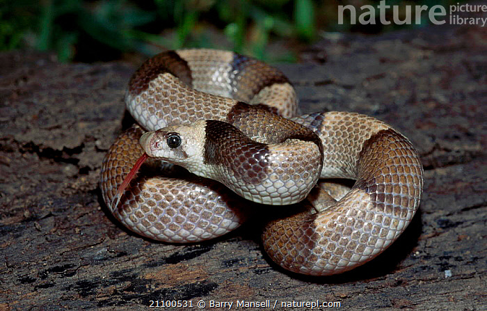 Saddled leafnose snake {Phyllorhynchus browni} Sonora Mexico, SONORAN,CAPTIVE,DESERTS,REPTILES,CENTRAL AMERICA,REPTILES,SNAKES,TONGUES,AMERICA,DESERT,CENTRAL,TONGUES, Barry Mansell