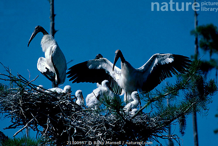 American wood ibis at nest with young {Mycteria americana} Florida USA woodstork, BIRDS,WADERS,BABIES,GROUPS,IBISES,CHICK,CHICKS,BIRDS,NESTS,COLONY,GROUP, Barry Mansell