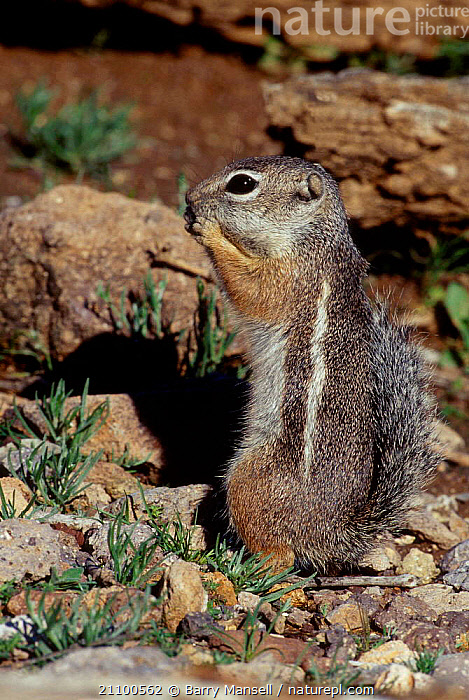 Harris antelope squirrel {Ammospermophilus harrisii} C Arizona USA, DESERTS,NORTH,SQUIRRELS,RODENTS,DESERT,AMERICA,MAMMALS,CAPTIVE,RODENTS, Barry Mansell